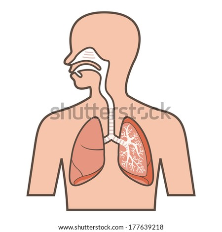 Respiratory system - stock vector