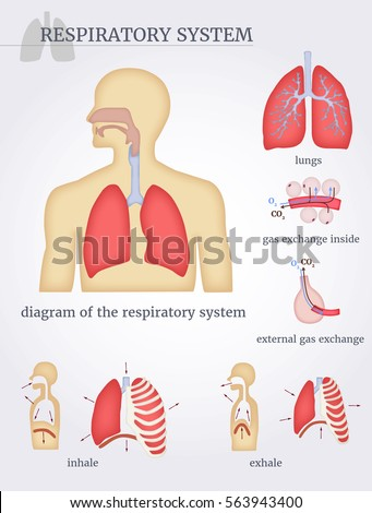 Respiratory system diagram respiratory system lungs stock vector respiratory system diagram of the respiratory system with lungs inside gas exchange external ccuart Image collections