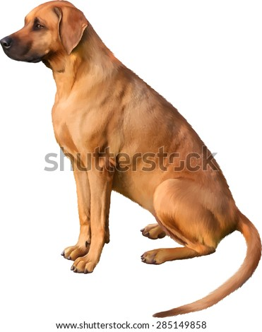 Rhodesian Ridgeback dog sitting on a white background