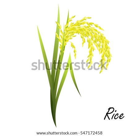 Rice (Oryza sativa, Asian rice). Hand drawn realistic vector illustration of rice plant on white background.