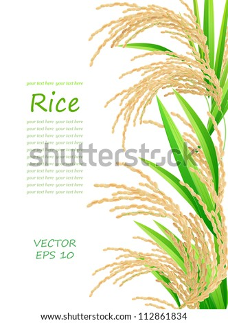 Rice. Spikelet of rice on a white background. Vector illustration. Eps 10. - stock vector