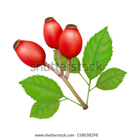 Rose Hips with Leafs Vector Isolated Illustration - stock vector