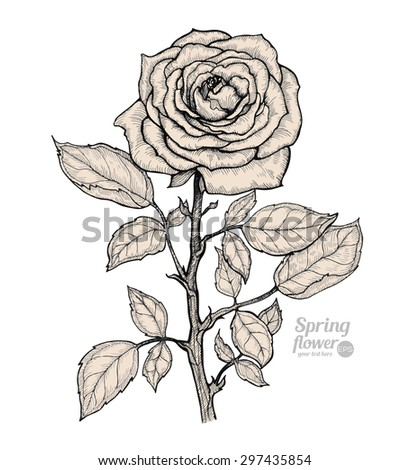 Rose  isolated on a white background. Vector. Hand drawn artwork. Love concept for wedding invitations, cards, tickets, congratulations, branding, boutique logo, label. Gift for young girl and women