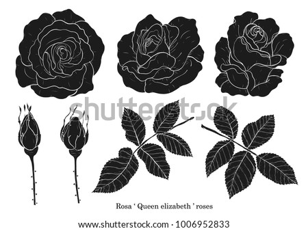 Rose vector set by hand drawing.Beautiful flower on white background.Rose art highly detailed in line art style.Rosa queen elizabeth rose