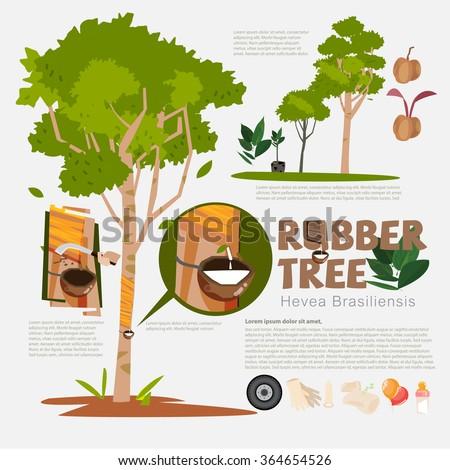 Rubber Tree Hevea Brasiliensis Detail Info Stock Vector