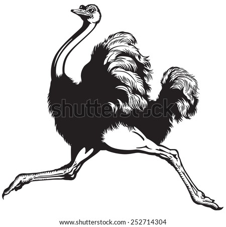 running ostrich , side view black and white image