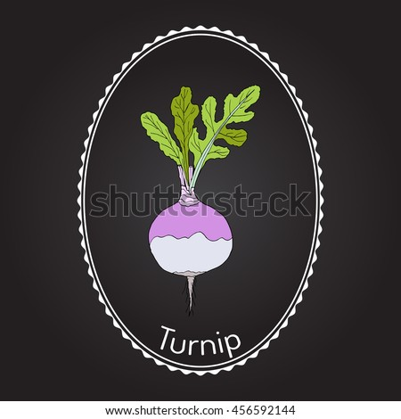 Rutabaga or Swede, or turnip (Brassica napobrassica), root vegetable. Hand drawn botanical vector illustration - stock vector