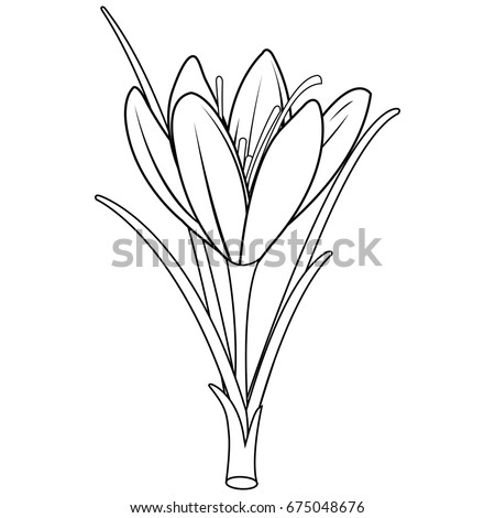 Saffron Crocus Flower Black White Illustration Stock