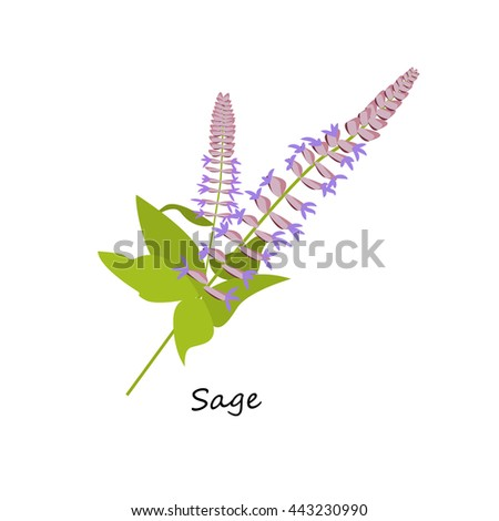 Sage flower. Botany Set herbs. Illustration of Flower isolated on a white background. Vector eps10 - stock vector