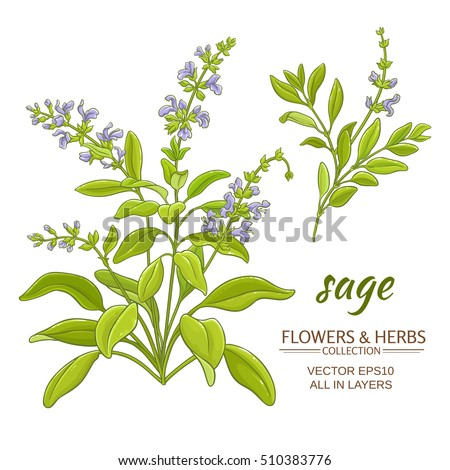 Sage Illustration Sage Vector Ill...