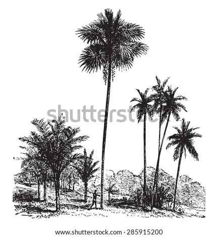 Sago, Ordinary palm tree, Areca catechu, vintage engraved illustration. La Vie dans la nature, 1890. - stock vector