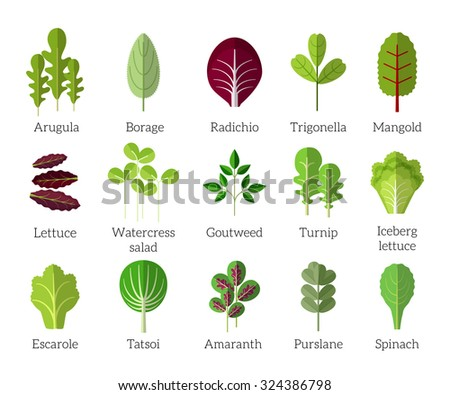 Salad ingredients. Leafy vegetables vector flat icons set. Organic and vegetarian, borage and radichio, trigonella and mangold illustration - stock vector