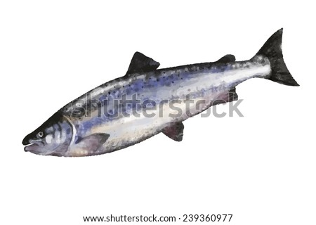 Salmon. Vector illustration.