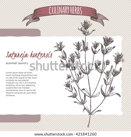 Satureja hortensis aka summer savory vector hand drawn sketch. Culinary herbs collection. Great for cooking, medical, gardening design. - stock vector