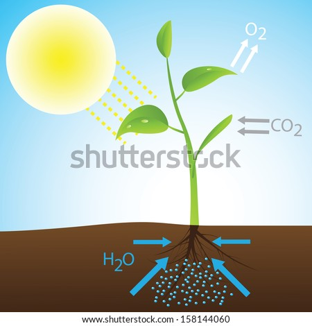 Scheme of photosynthesis (Vector illustration) - stock vector