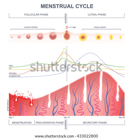 Menstrual Cycle Stock Images, Royalty-Free Images ...