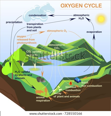 Oxygen Cycle In Nature Scheme Oxygen Cycle Fl...