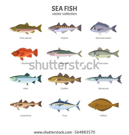 Sea fish set. Vector illustration of different types of saltwater fish, such as Pink salmon, Pollock, Gilt-head bream, Rockfish, Mackerel, Sea bass, Keta, Codfish. Isolated on white.