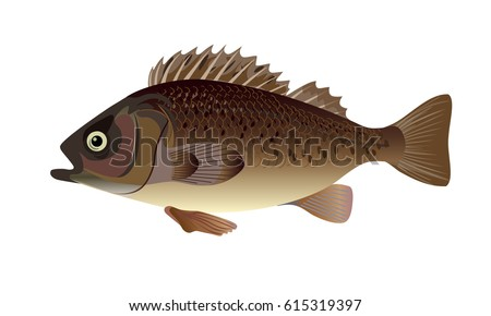 Sea perch stock images royalty free images vectors for Sea perch fish