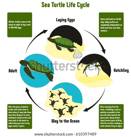 Sea Turtle Life Cycle Diagram All 610397489 on Free Egg Hatching Baby En