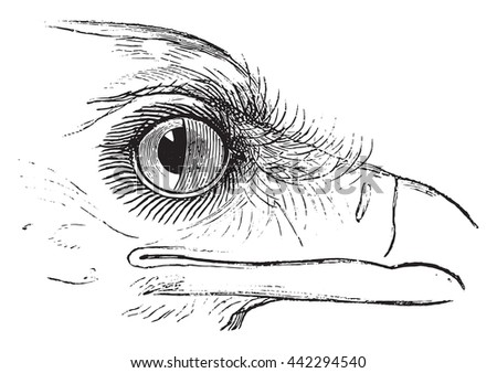 Secretary Bird or Sagittarius serpentarius, showing nictitating membrane in the eye. From Magasin Pittoresque, vintage engraving, 1876.