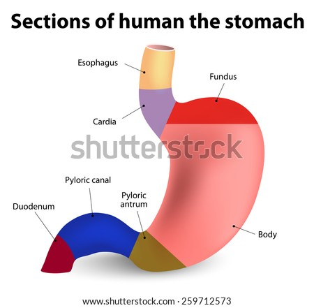 Antrum stock images royalty free images vectors shutterstock sections of the human stomach ccuart Choice Image