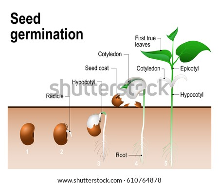 Germination of a bean seed timeline