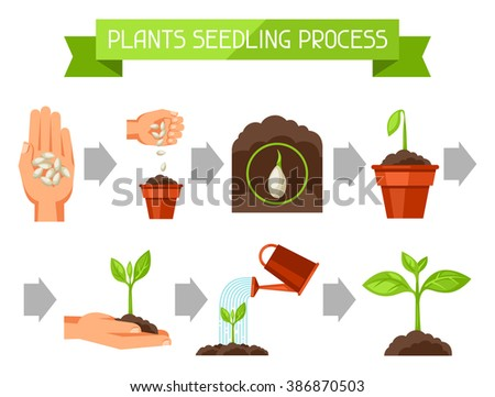 Seedling infographics with phases of plant growth. Image for advertising booklets, banners, flayers and articles.