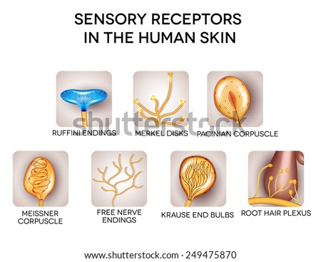 Sensory receptors in the human skin, detailed illustrations. Isolated on a white background. - stock vector