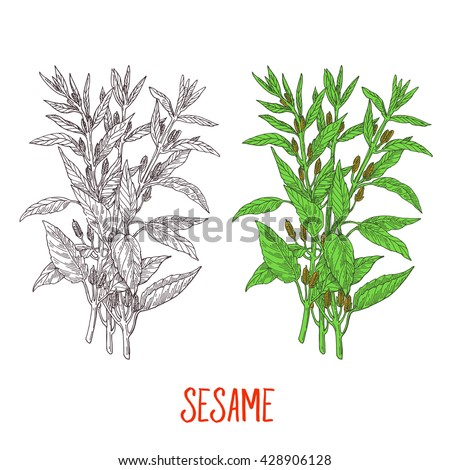 Sesame, detailed drawing pencil sketch, gravure style, vegetarian spices - stock vector