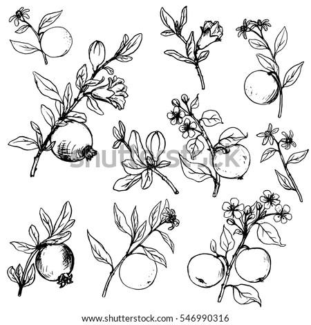 Set Apple Pomegranate Orange Tree Branches Stock Vector ...