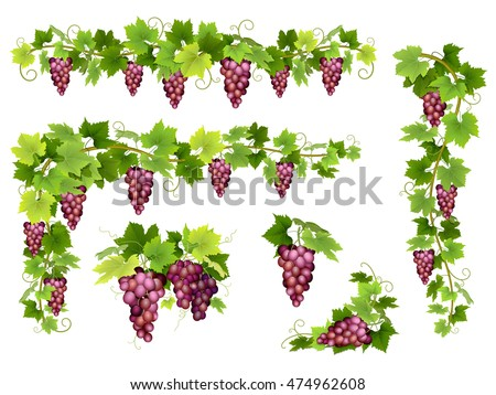 Set of bunches of red grapes. Cluster of berries, branches and leaves. Vector realistic illustration about harvest and wine making.