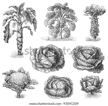 Set of cabbages - vegetable / vintage illustration from Meyers Konversations-Lexikon 1897 - stock vector