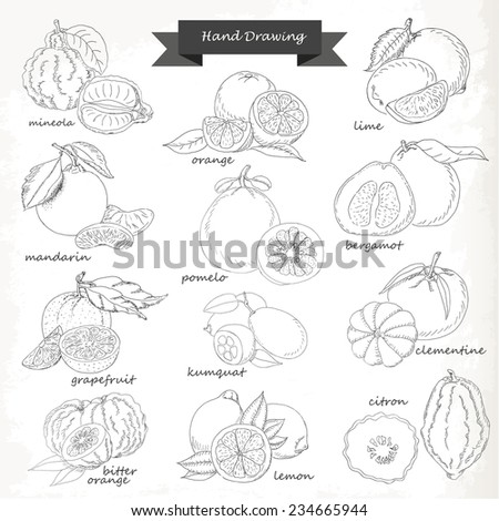 Set of citrus fruits. Vector hand drawing sketch illustration for your design - stock vector