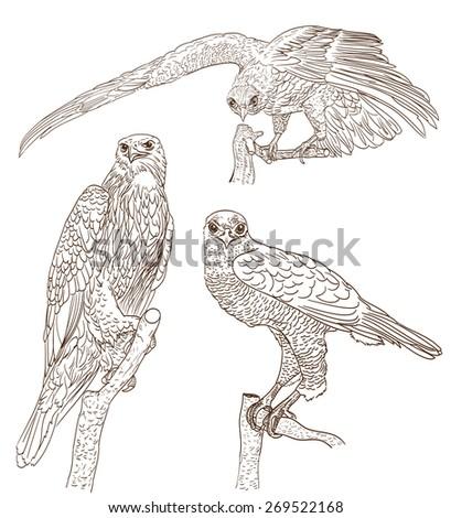 set of drawings of birds of prey - stock vector