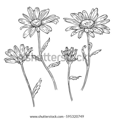 Set Of Drawn With Ink Daisies Flowers Vector Illustration Page For Coloring