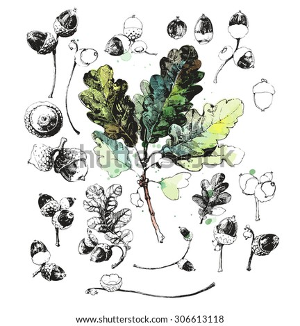 Set of hand drawn oak leaves and acorns - oak nuts isolated on white background - stock vector