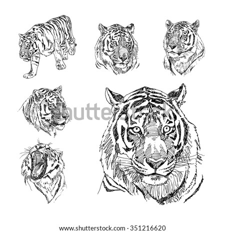 Set of hand drawn tiger. Sketch drawing illustration vector. - stock vector