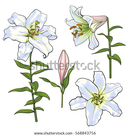 Set Hand Drawn White Lily Flowers Stock Vector 568843756