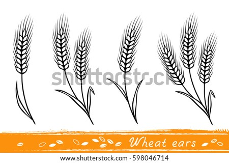 set of isolate wheat ears with grain