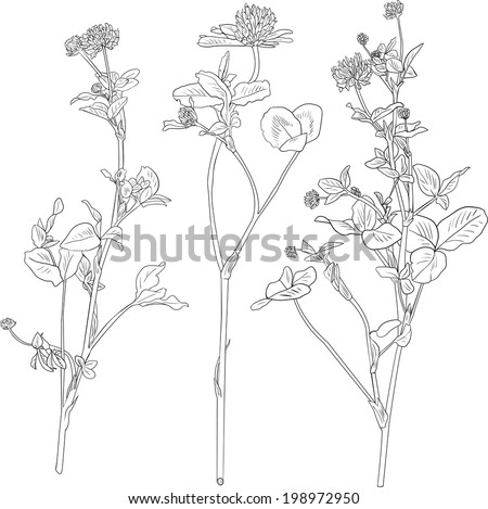 Set of line drawing clovers, wild flovers, hand drawn vector illustration - stock vector