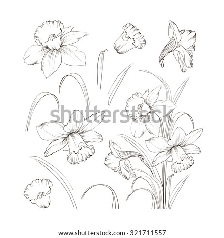 set of line drawing narcissus daffodils blossom bundle black flowers isolated over white