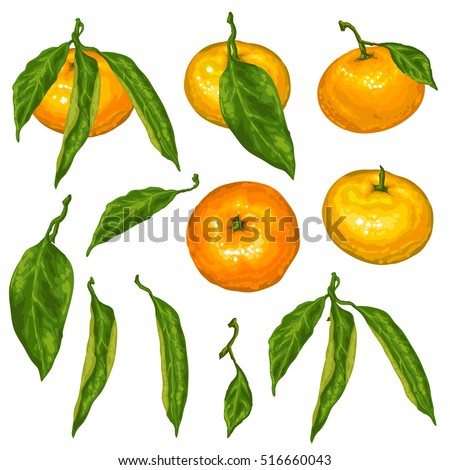 Set of mandarins. Tropical fruits and leaves.
