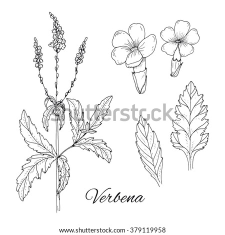 Set of medicinal herbs. Inky verbena vector isolated. Hand drawn verbena flower, leaf and healing plant. Hand drawn illustration medicinal herbs for print, decoration, image, design, label, wrapping - stock vector