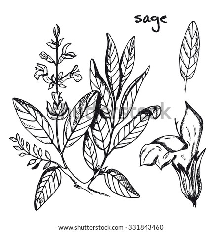 Set of medicinal plant. Black and white sage vector isolated. Hand drawn ink sketch sage healing herbs. Hand drawn illustration medicinal herbs for print, decoration, image, design, label, wrapping - stock vector