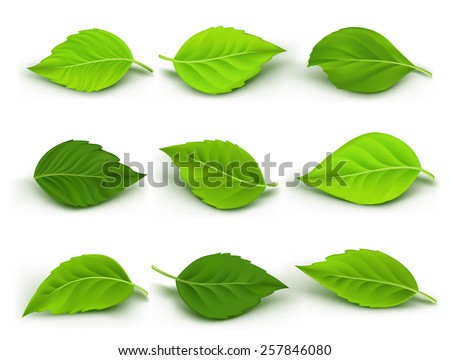Set of Realistic Green Leaves Collection. Vector Illustration - stock vector