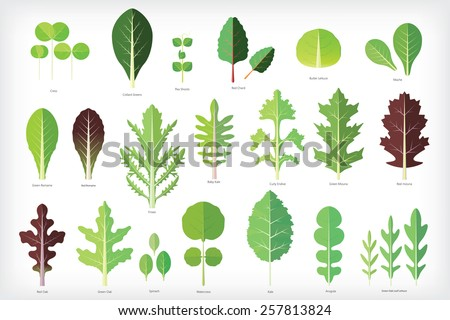 Set of salad greens vector. Leafy vegetables - stock vector