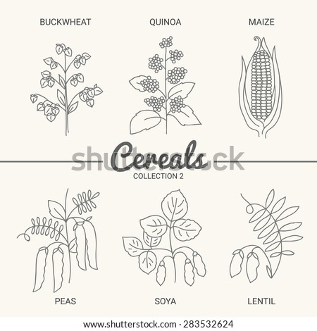 Set of six cereals. Buckwheat, quinoa, maize, peas, soya and lentil in vintage style. Contour drawing vector illustration - stock vector