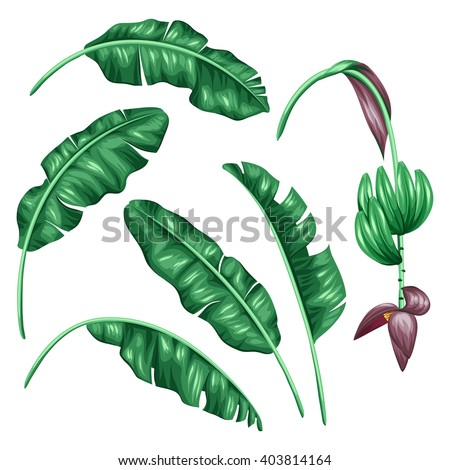 Set of stylized banana leaves. Decorative image with tropical foliage, flowers and fruits. Objects for decoration, design on advertising booklets, banners, flayers. - stock vector