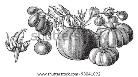 Set of tomatoes (Lycopersicum esculentum) - vegetable / vintage illustration from Meyers Konversations-Lexikon 1897 - stock vector